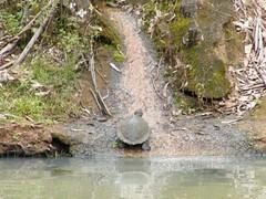 Turtle Escape Path