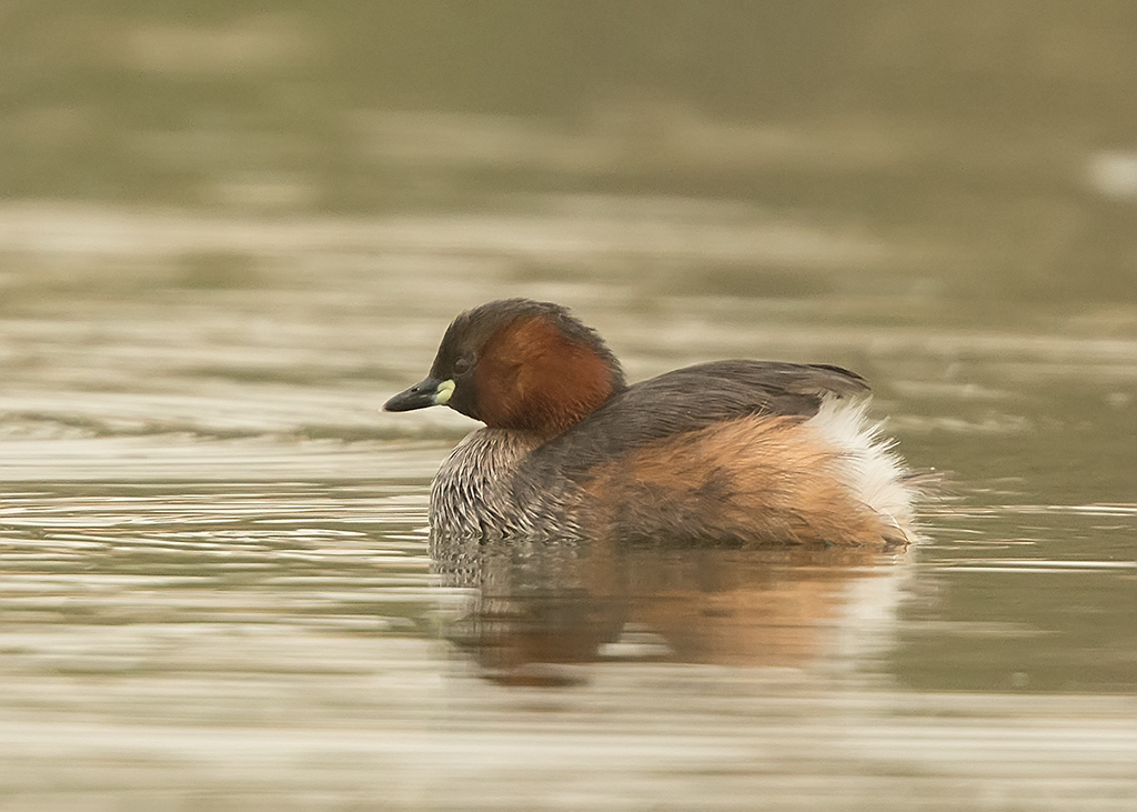 Little Grebe  Gambia