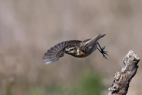 Flying female stonechat