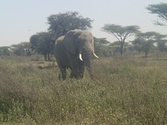 an elephant in the serengeti