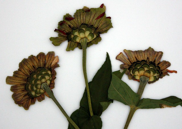 back view of the same three zinnias