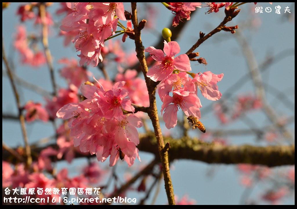 台大鳳凰自然教育園區櫻花DSC_5996