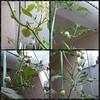 D mulai membesar tomatnya #tomat #tomatoes #hydroponic #berkebun #growyourfood #green
