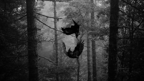 71/365 Raven Fight