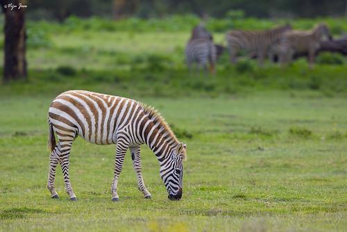 2016 africa kenya lakenaivasha nature safari travel vijujose wildlife karagita nakuru ke zebra
