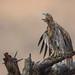 Red-tailed Hawk by mallardg500