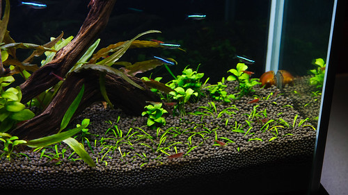 green neon tetras in a fluval spec v aquarium
