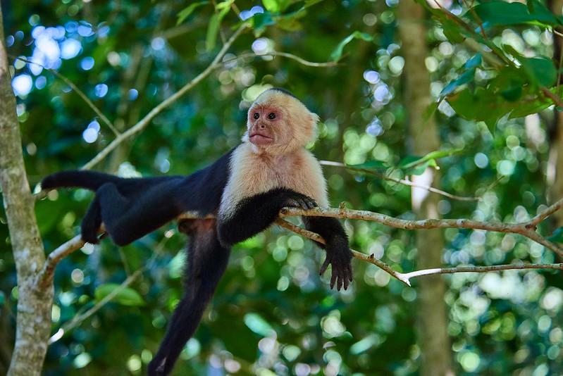 Chilling Capuchin monkey - Manuel Antonio National Park