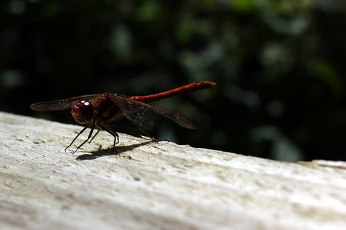 Red dragonfly side view