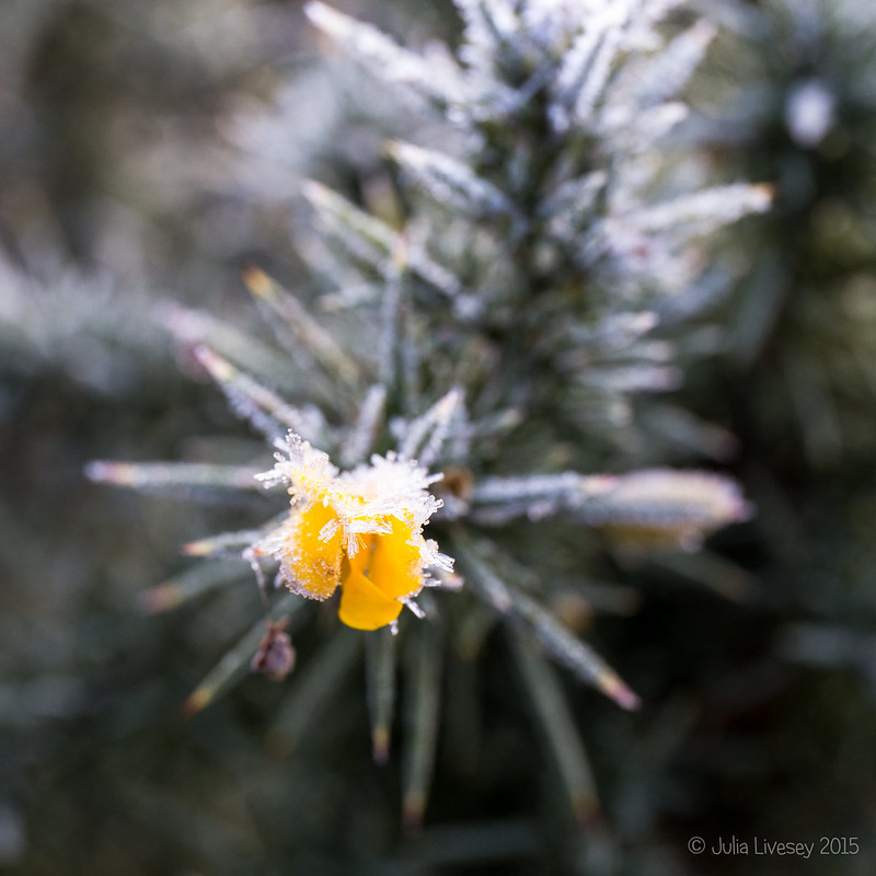 Frosted Gorse Flower