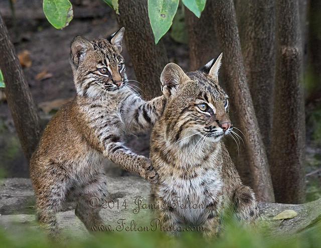 Bobcat and her Kitten (in the wild). - by Jamie Felton Photo