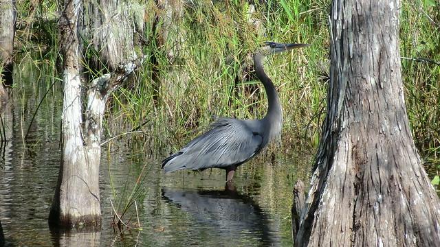 Florida: Big Cypress Swamp - a Majestic Blue Heron