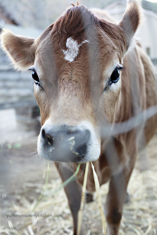 avila barn cow