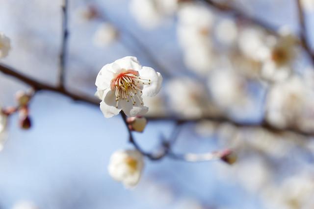 white ume blossom