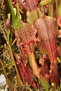 Sarracenia purpurea hybrid