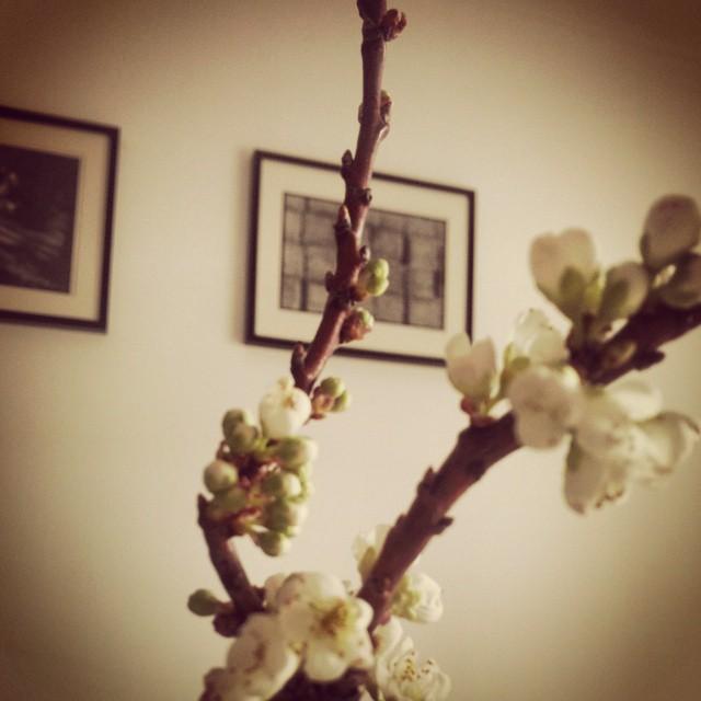 E as minhas flores de abrunheiro abriram!
