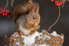 squirrel icy dinner