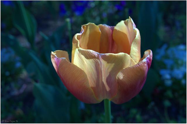 Tulipán de Fuego