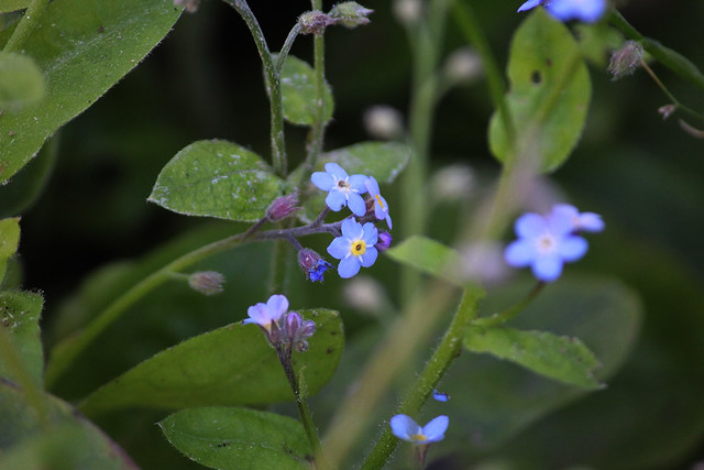Forget Me Nots 1