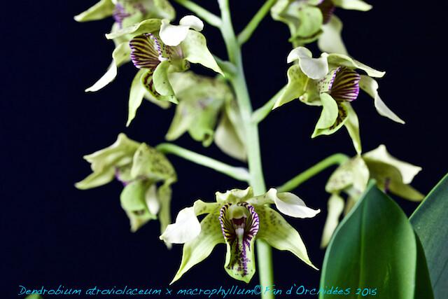 Dendrobium atroviolaceum x macrophyllum 16206334268_80d686f241_z