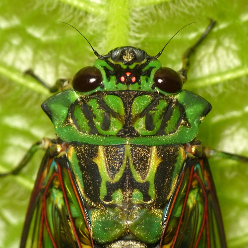 Emerald Cicada, Zammara smaragdina