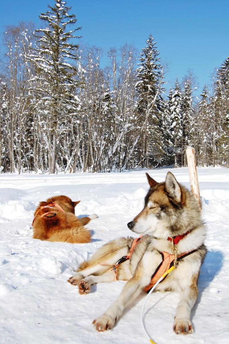 Balade chiens de traineau chiens de traineau (16)