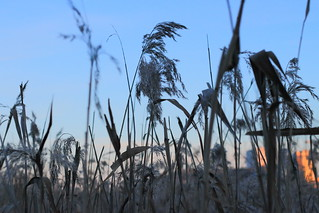 Tall grasses by Råstasjön in Solna