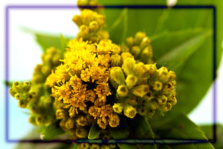 Goldenrod Solidago Wild Flower