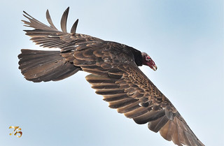 Right On Top Of This Turkey Vulture