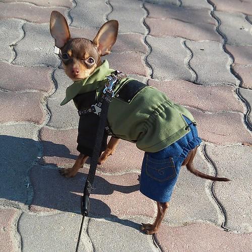 Красавчик мой 😍 примерка и прогулка прошли отлично! Без внимания мы не остались ))) Вобщем не зря я сидела до двух ночи 🌌 #тойтерьер #собака #шью #ручная_работа #ручнаяработа #dog #toy_terrier #toyterrier #sewing #handmade