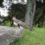 Sa, 14.02.15 - 21:20 - Vögel im Parque Simon Bolivar
