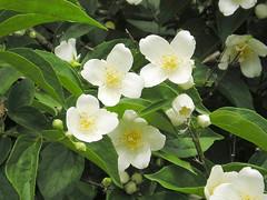 jasmine(0.0), camellia sasanqua(0.0), gardenia(0.0), blossom(1.0), shrub(1.0), flower(1.0), yellow(1.0), plant(1.0), flora(1.0), theaceae(1.0),