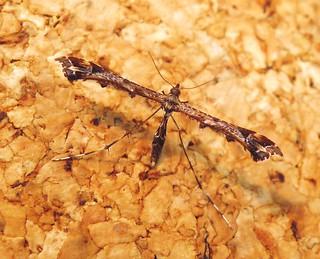 Amblyptilia acanthadactyla (1)