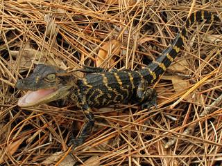 Alligator mississippiensis (juvenile), Trout Creek, Lower Hillsborough Wilderness Preserve, Hillsborough County, Florida 1