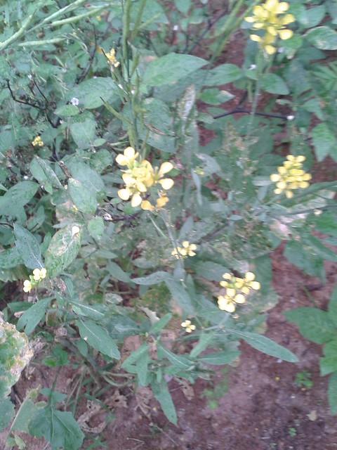 கடுகுச் செடி 7 (Brassica juncea)
