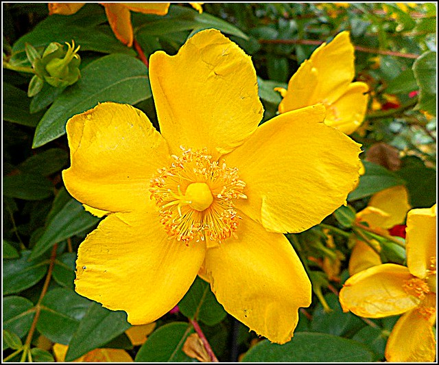 Hypericum Flower ...