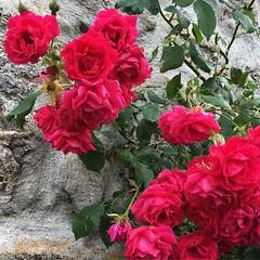 #rose #fleur #Lozère #grandrieu