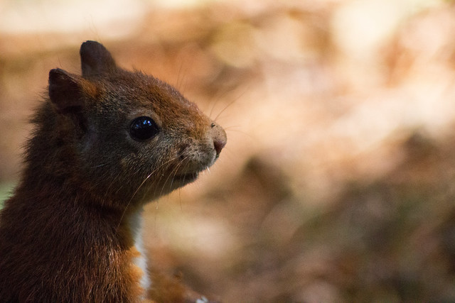 14 9 Red Squirrel