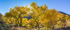 Golden Cottonwood Panorama