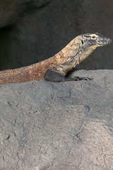Happy Komodo Dragon.