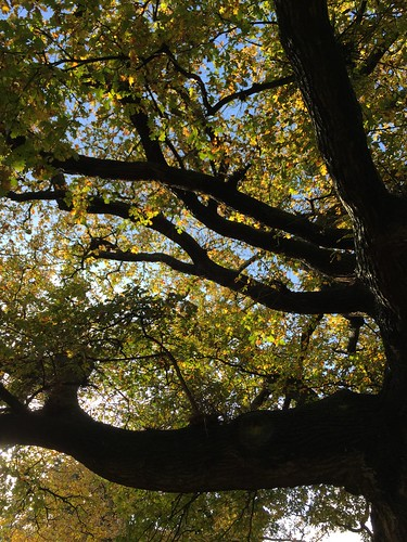 Light through the oak leaves