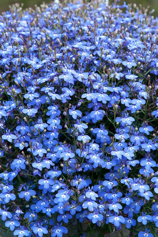 Lobelia Erinus Ocean Sky Blue Lobelia Erinus Ocean Sky Flickr