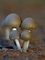 agaric(0.0), oyster mushroom(0.0), bolete(0.0), fauna(0.0), penny bun(0.0), shiitake(0.0), medicinal mushroom(1.0), agaricus(1.0), nature(1.0), mushroom(1.0), macro photography(1.0), agaricaceae(1.0), fungus(1.0), matsutake(1.0), close-up(1.0), champignon(1.0), edible mushroom(1.0),