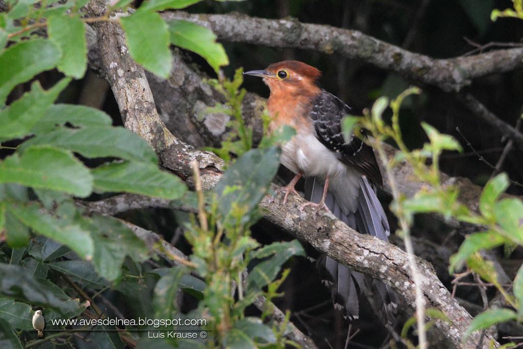 Yasiyateré chico (Pavonine Cuckoo) Dromococcyx pavoninus