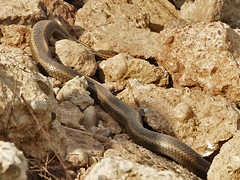Thamnophis gigas