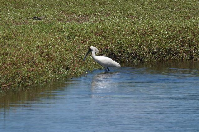 Spoonbill near Tallow Beach