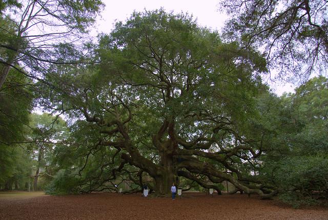 Angel Oak Tree on Johns Island