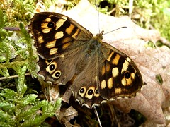 Tircis - Speckled wood