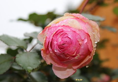 Eine der letzten Rosen in 2014
