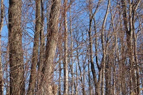 blue trees winter sky brown cold sunshine vines o branches crisp bark trunks leafless